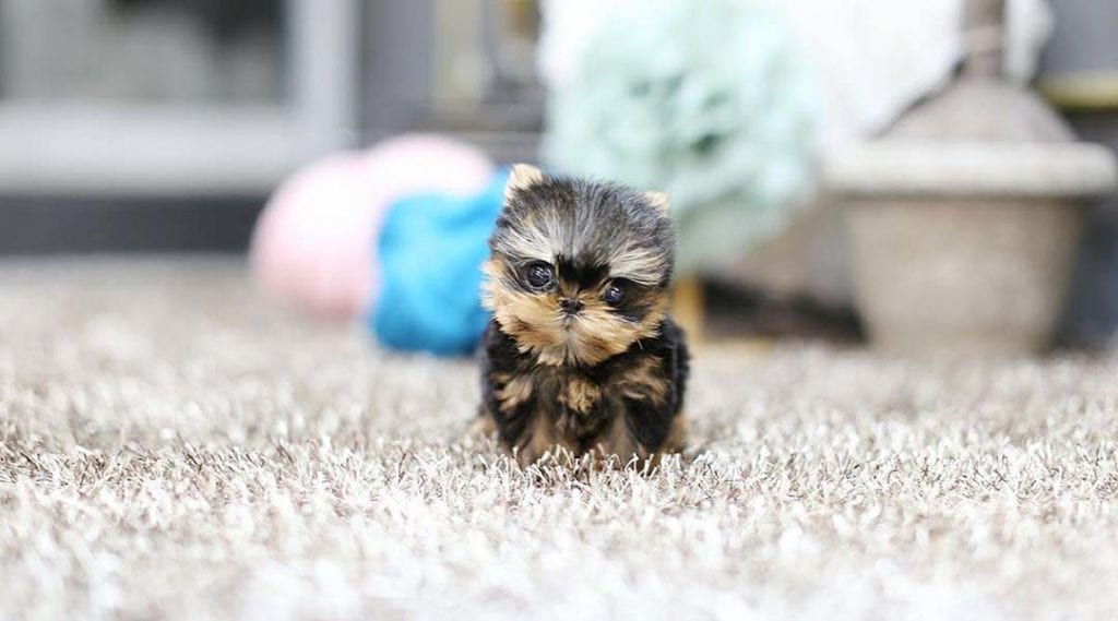 teacup-dogs-yorkie-puppy