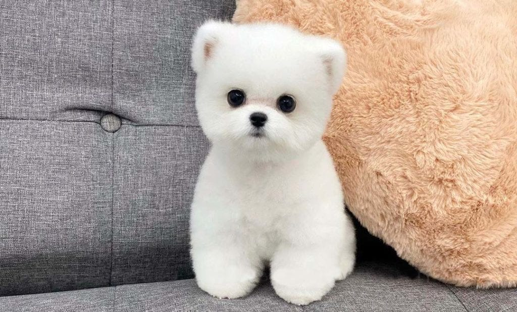 teacup-dogs-pomeranian