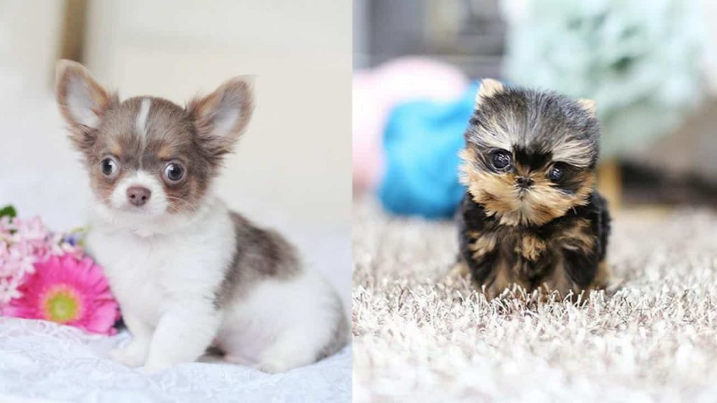 What You Need To Know About Teacup Dogs