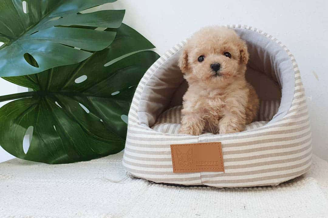 teacup-dogs-toy-poodle