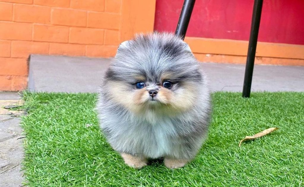 teacup-pomeranian-dogs