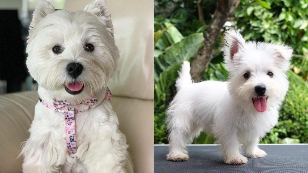 Facts About West Highland White Terrier