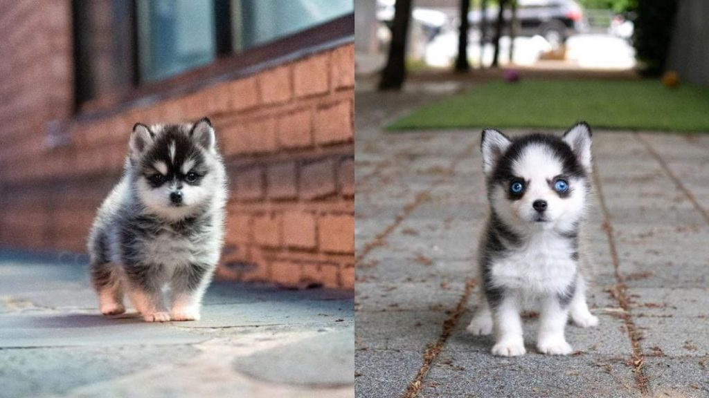 Facts About Miniature Husky Dogs