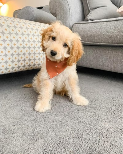 mini-cockapoo-poodle