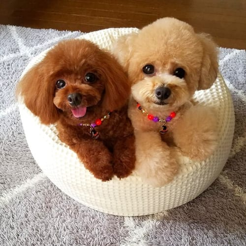 miniature-poodle-dogs-5