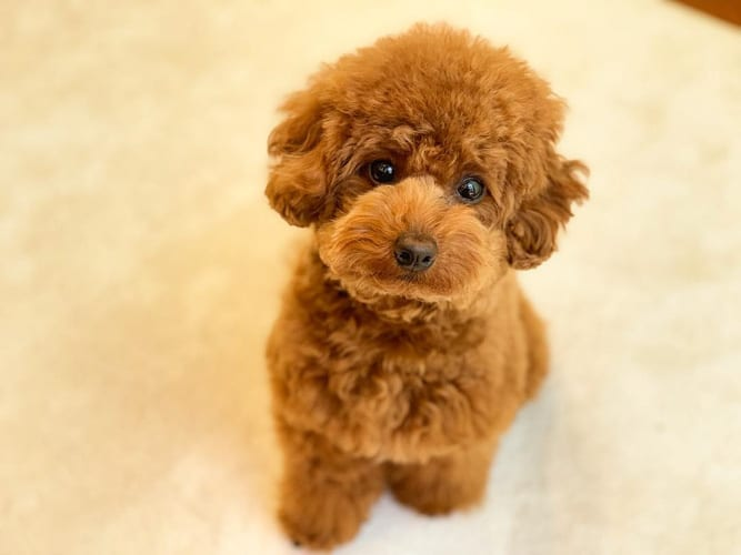 miniature-poodle-dogs