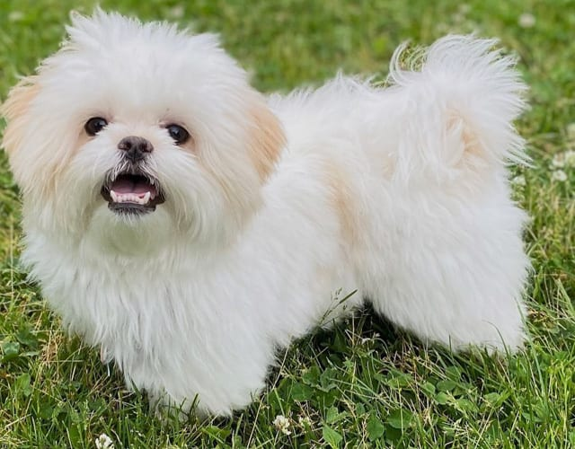 Amazing Things About Shichon Dog Breed 1
