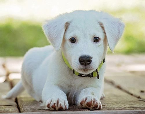 akbash-dog-white-dog-breeds