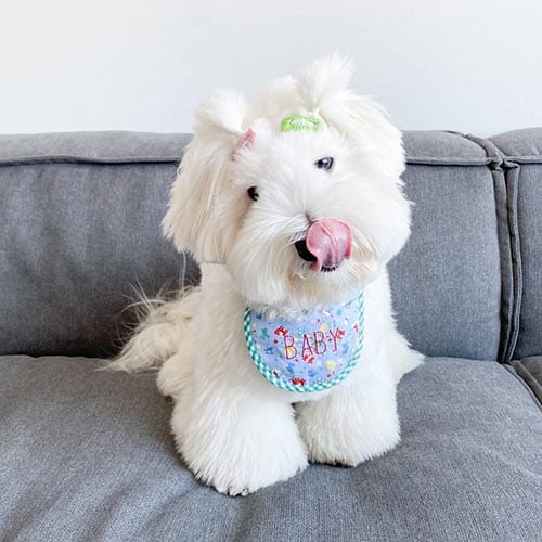 coton-de-tulear-white-dog-breeds