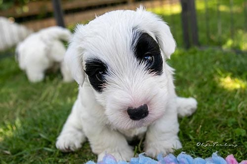 sealyham-terrier-white-dog-breeds