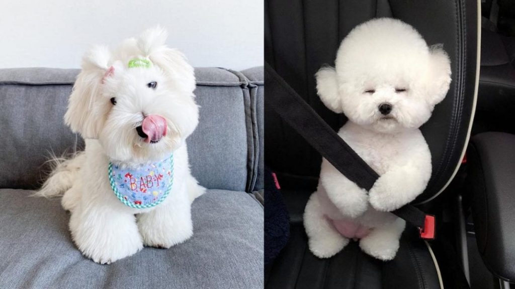 Cutest 12 White Dog Breeds