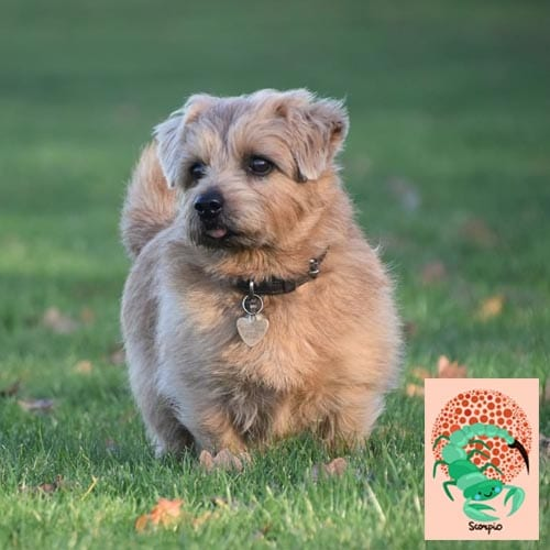 scorpio-norfolk-terrier