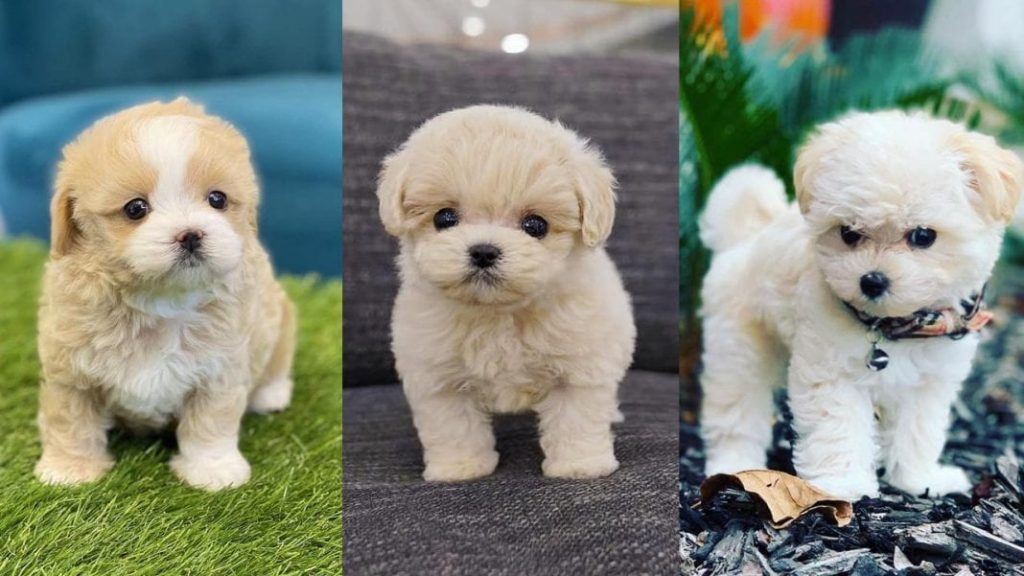 Teacup Maltipoo – 10 Things You Should Know