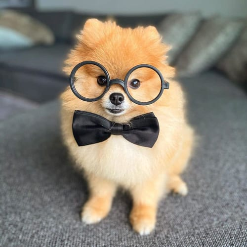 pomeranian-dog-breed