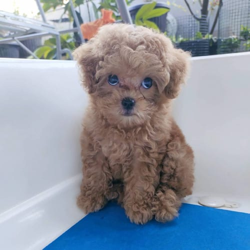 Toy Poodle Dog Colors and Markings 2