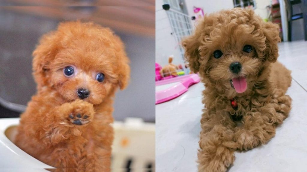 Toy Poodle Dog Colors and Markings