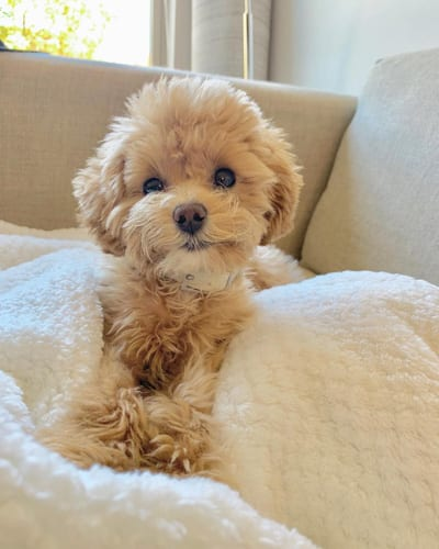 Toy Poodle Dog Colors and Markings 1