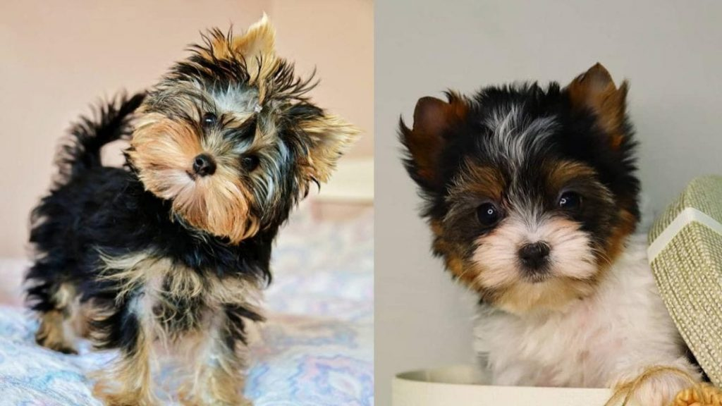 Yorkie Dog Colors and Markings